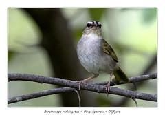 Olive sparrow (Jan H. Boer, Nature photographer) Tags: arremonopsrufivirgatus olivesparrow olijfgors birds sparrows nature wildlife portrait costarica turrúcares nikon d500 afsnikkor200500f56eedvr jan´sphotostream2019