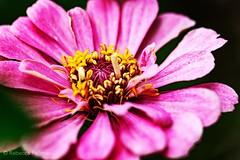 Rumpled. #Takoma #dc #dclife #washingtondc #canon #rebelxs #realcamera #Canon #EFS60mm #macro  #flower #flowersofinstagram (Kindle Girl) Tags: realcamera takoma dc dclife washingtondc canon rebelxs efs60mm macro flower flowersofinstagram