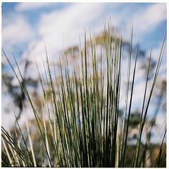 Australian Countryside (Helen C Photography) Tags: mamiya c220 film analogue kodak portra 400 australia bushland lobethal green trees gumtrees eucalyptus
