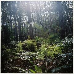 Australian Countryside (Helen C Photography) Tags: mamiya c220 film analogue kodak portra 400 australia bushland lobethal green trees fern gumtrees eucalyptus sunburst