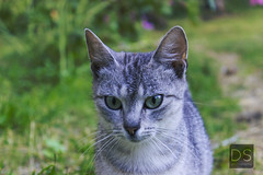 Grey Cat (Dmitriy Semenskoy) Tags: cat outdoor green grass nature street grey