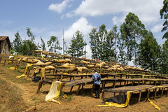 Wooden drying tables in Jan 2018 full of Mbuni coffee (Coffee Collective) Tags: nyeri nyericounty kenya