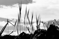 Silent beauty (ISO 69) Tags: blackwhite bw black white monochrome blackandwhite schwarzweiss schwarz weiss felanitx mallorca majorca spain baleares balearen natur nature grass silhouette espana spanien island insel