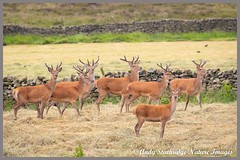 Stags in Velvet (www.andystuthridgenatureimages.co.uk) Tags: stag stags group deer red male antlers velvet field moors moorland curbar peskdistrict nationalpark animal mammal large canon