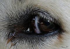 Mirada fiel (f.breton12) Tags: mascotas perros ojos miradas
