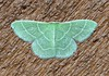 Synchlora aerata (Gary Walton) Tags: wavylinedemerald moth synchloraaerata insect minnesotamoths greenmoth emerald nature lepidoptera geometridae