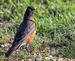 Robin listening for worms (edmason88) Tags: americanrobin listening worms tamron150600 strathconacounty alberta