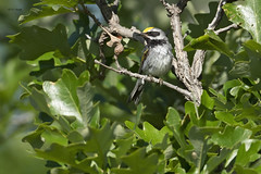 Golden-winged Warbler (featherweight2009) Tags: goldenwingedwarbler vermivorachrysoptera warblers woodwarblers songbirds birds