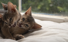 Two Peas Out of the Pod (peter_hasselbom) Tags: cat cats kitten kittens abyssinian blue 7weeksold 3cats 3kittens play fight playfight window windowsill naturallight sun 50mm