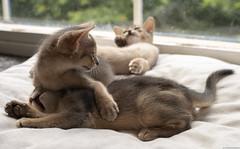 Abyssinian Playfight 2 (peter_hasselbom) Tags: cat cats kitten kittens abyssinian blue 7weeksold 3cats 3kittens play fight playfight window windowsill naturallight sun 50mm