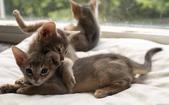 Abyssinian Playfight 3 (peter_hasselbom) Tags: cat cats kitten kittens abyssinian blue 7weeksold 3cats 3kittens play fight playfight window windowsill naturallight sun 50mm