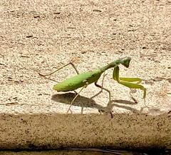 Praying Mantis (ISO 69) Tags: mantis praying gottesanbeterin animal tier insekten insects closeup
