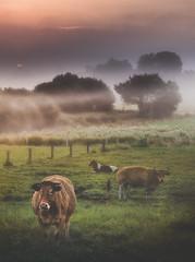 A Pereira (Noel F.) Tags: sony a7rii a7r ii fe 24105 g vaca cow marela frisona pereira fontecada santa comba galiza galicia