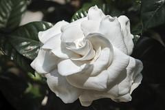 Gardenia - Full Bloom (Modkuse) Tags: white flower art nature whiteflower natural bright artistic fineart fujifilm photoart fujinon gardenia fineartphotography flowerart artphotography xt2 classicchrome xf1855mmf284rlmois fujinonxf1855mmf284rlmois fujifilmxt2 fujifilmxt2classicchrome