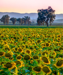 Trees and Sunflower Field, Yolo County (optimalfocusphotography) Tags: northerncalifornia california sunflowers landscape sunset nature sacramento summer trees usa yolocounty