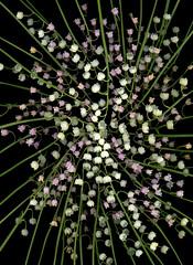59741.01 Convalaria majalis, Convalaria majalis  'Rosea' (horticultural art) Tags: horticulturalart convallariamajalis convalariamajalisrosea convallaria lilyofthevalley flowers starburst