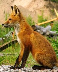 Wee fox kit (Karen @ Wall Flower Studio) Tags: wallflowerstudio ontario wildlife animal kit juvenile sweet vulpesvulpes haliburton minden canada nature fox furbaby redfox