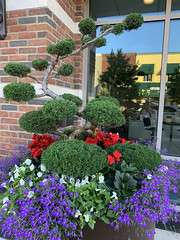IMG_0834 Topiary Planter (Rhonda Bonham) Tags: elements topiary downtown midland flowers windows glass architecture reflections begonias