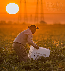 Brentwood Green Beans (mikeSF_) Tags: brentwood contracosta county farm farming green beans cornfield corn picking harvest harvesting sunrise morning pentax pentax645z 645 645z