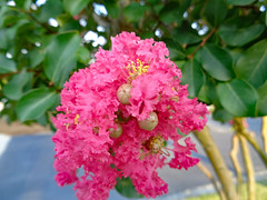 Crepe Myrtle Blossoms. (dccradio) Tags: lumberton nc northcarolina robesoncounty outdoor outdoors outside wednesday wednesdayevening evening goodevening summer summertime july sony cybershot dscw830 crepemyrtle crapemyrtle flower flowers flowering bloom blooming blooms blossom blossoming blossoms foliage plant tree floweringtree pink leaf leaves