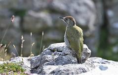 Green Woodpecker - Juvenile      (Picus viridis) (nick.linda) Tags: woodpeckers northyorkshire picusviridis greenwoodpecker wildandfree juvenilegreenwoodpecker canon7dmkii canon100400mkll juvenilefemalegreenwoodpecker