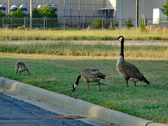 Geese. (dccradio) Tags: lumberton nc northcarolina robesoncounty outdoor outdoors outside wednesday wednesdayevening evening goodevening summer summertime july sony cybershot dscw830 leaf leaves foliage plant goose geese gosling goslings familyofgeese canadageese canadagoose grass lawn greenery