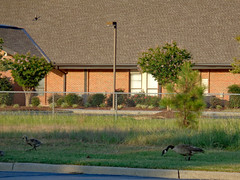 Geese At The Mormon Church. (dccradio) Tags: lumberton nc northcarolina robesoncounty outdoor outdoors outside wednesday wednesdayevening evening goodevening summer summertime july sony cybershot dscw830 church lds latterdaysaints mormon mormonchurch churchbuilding leaf leaves foliage plant goose geese gosling goslings familyofgeese canadageese canadagoose grass lawn greenery tree trees branch branches treebranch treebranches treelimb treelimbs
