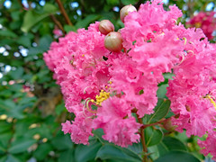Pink Blossoms. (dccradio) Tags: lumberton nc northcarolina robesoncounty outdoor outdoors outside wednesday wednesdayevening evening goodevening summer summertime july sony cybershot dscw830 crepemyrtle crapemyrtle flower flowers flowering bloom blooming blooms blossom blossoming blossoms foliage plant tree floweringtree pink leaf leaves
