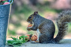 How To Keep Squirrels Away From Your Bird Feeder (ozoni11) Tags: squirrel squirrels nature nikon nikond500 afs80400mm animal animals fruit peach peaches peachy ozoni11 maryland howardcountymaryland columbiamaryland michaeloberman