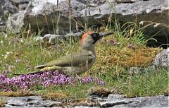 Green Woodpecker - Female      (Picus viridis) (nick.linda) Tags: greenwoodpecker femalegreenwoodpecker picusviridis woodpeckers wildandfree northyorkshire canon7dmkii canon100400mkll