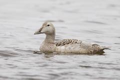 Eider Duck (JaneTurner68) Tags: eiderduck eider leucistic duck bird ythanestuary ythan aberdeen canon1dmkiv canon600mmf4lens canon