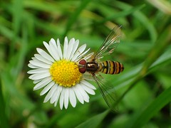 Hooverfly (libra1054) Tags: hoverfly syrphe syrphidae syrphes insects insekten insectos insetti insectes macro nature