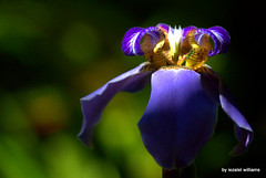 An Exquisite Iris Lily also called Neomarica by iezalel williams  IMG_2332 (iezalel7williams) Tags: iris lily flower photo exquisite nature beauty photography flora canoneos700d high vibration light love closeup colorful plant purple yellow orange outdoor nice beautiful blue bokeh thinkpositive thankyou neomarica