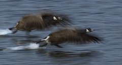 Extreme Motion Blur (Ann and Chris) Tags: flying two geese slowshutter motion pan effect panned water wild
