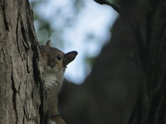 Spy Squirrel (pirate johnny) Tags: squirrel tree spying
