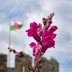 2 dragons (scilly puffin) Tags: welshdragon welshflag snapdragon plant conwycastle canoneosm50