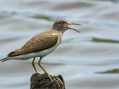 Common Sandpiper (Pendlelives) Tags: common sandpiper sand piper tiny small bird birds male female perched perch call beak open wader fence post one leg head stripe white chest summer visitor pendle foulridge upper reservoir colne lancashire pendlelives nature wildlife ornithology nikon p1000 clarity clear sharp zoom green background countryside british