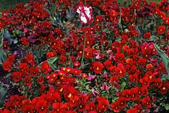 Berlin Tulipan 2019 (rieblinga) Tags: berlin britzer garten tulipan tulpen stiefmütterchen blumen frühling 2019 analog hasselblad 501 kodak ektar 100 c41
