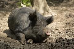 OnEdge (Tony Tooth) Tags: nikon d7100 nikkor 55300mm animal livestock pig resting buxworth derbyshire