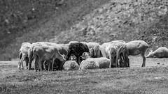 La ronde / the round (Nicolas Rouffiac) Tags: ronde round moutons sheeps bw nb monochrome alpage alpine montagne mountain