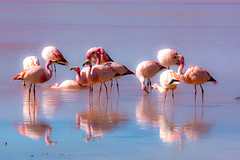 James flamingos. Laguna colorada, Bolivia (ravalli1) Tags: bolivia birds animals fauna flamingo james endangered nature lagunacolorada andes altiplano wildlife southamerica travelphotography