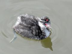 Eared Grebe baby / Podiceps nigricollis (annkelliott) Tags: bird baby earedgrebe young