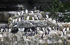 Guillemot (Gill Stafford) Tags: gillstafford gillys image photograph wales northwales anglesey puffinisland guillemot sea birds gulls breedingsite