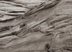 Mountain Goats at Zion National Park - an American jewel in the Southwest (The Shared Experience) Tags: zionnationalpark american jewel southwest usa sonydslr nikcollection2 photoshoptexture acrtexture nature landscape wildlife sandstone desert mountains wilderness nps znp 2017 mountaingoats