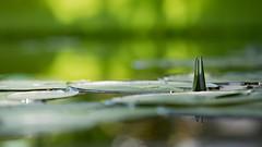 Nymphaea caerulea 2949-1; Nymphaeaceae (2) (pflanzenflüsterer) Tags: nymphaeaceae nymphaea nymphaeacaerulea grusongewächshäuser botanicalgarden magdeburg sachsenanhalt germany staude wasserpflanze laubwerfend afrika bokeh
