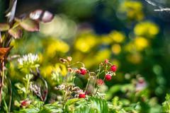 Poziomki (Bartlomiej.Kuraci) Tags: green poziomki przyroda bokeh nikon d850 new petzval 8522 wild stawberry fragaria vesca food fruits nature owoce