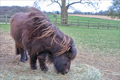 Bear II (meniscuslens) Tags: horse trust shetalnd pony rescue charity field paddock fence tree buckinghamshire aylesbury princes risborough high wycombe