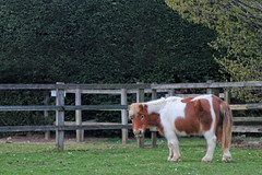 Uncle George Unrugged (meniscuslens) Tags: shetland pony skewbald horse trust charity princes risborough high wycombe aylesbury buckinghamshire paddock field fence hedge