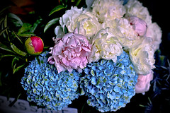 Hydrangea & Peony (Fnikos) Tags: flower flowers flor flores fiore fiori dahlia sun sunny nature naturaleza natura color colour colores colours colors blue blau blu azul rose pink white red dark light shadow shadows dof depth depthoffield bokeh outside outdoor