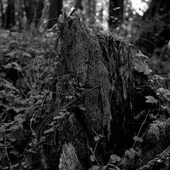 Decay (bingley0522) Tags: hasselblad500cm carlzeissplanar80mmf28 tmax400 hc110h epsonv500scanner sammcdonaldcountypark sanmateocounty redwoods redwoodforest stump decay autaut ordinarythings commonplacethings